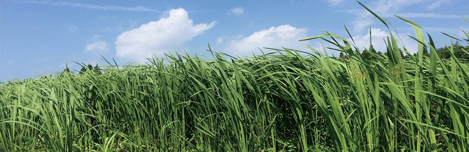 マコモ(発酵)とジザニアのホームページです。